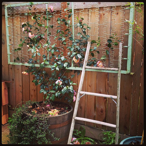 The bed spring we put up is starting to fill with our #camellia climber! Makes me happy.